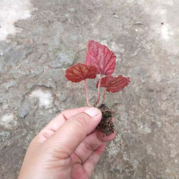 Begonia parvula