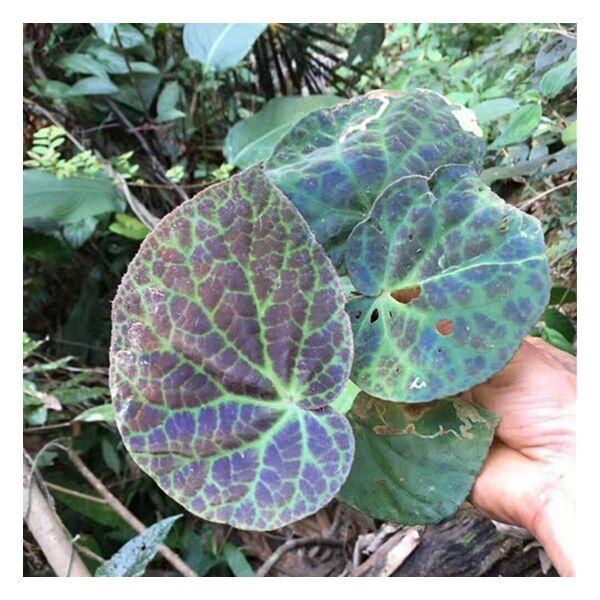 Begonia rockii