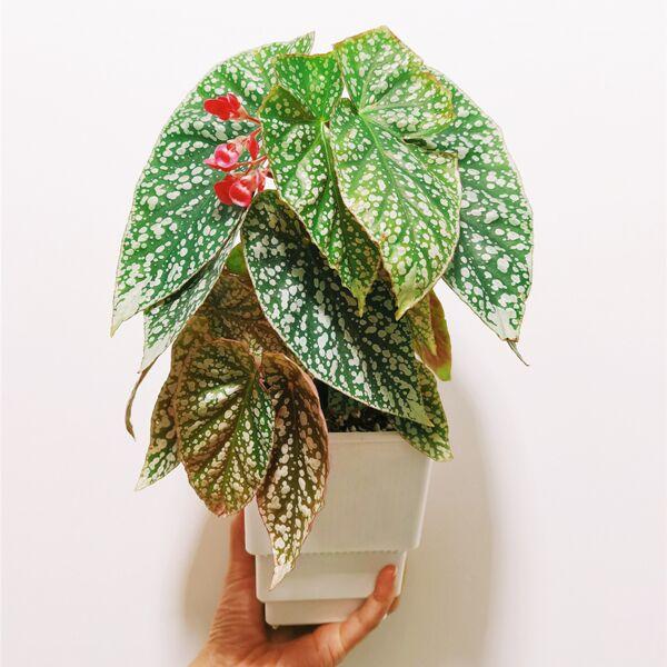 Begonia 'Snow Capped' (Begonia fibrous Hybrid)