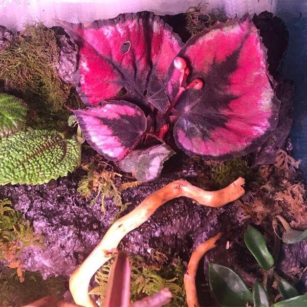 Begonia sp. (Pink)