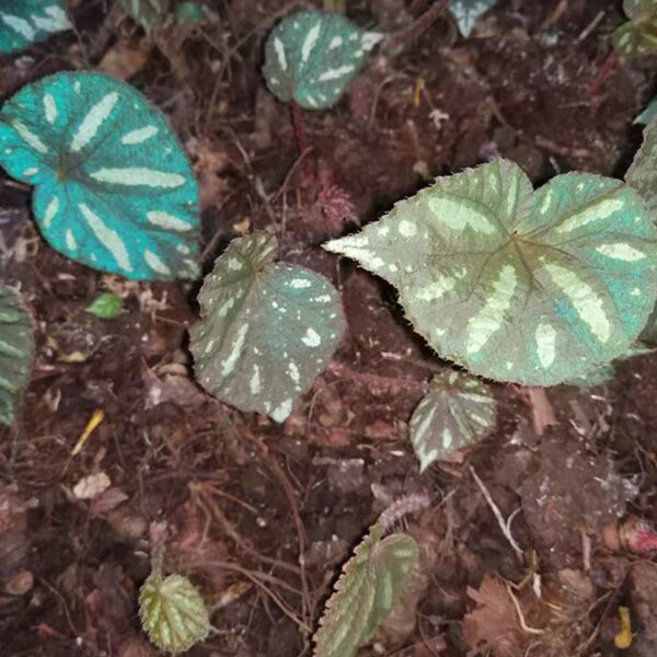 Begonia sp. Reflective blue