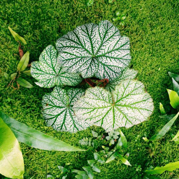 Begonia sp