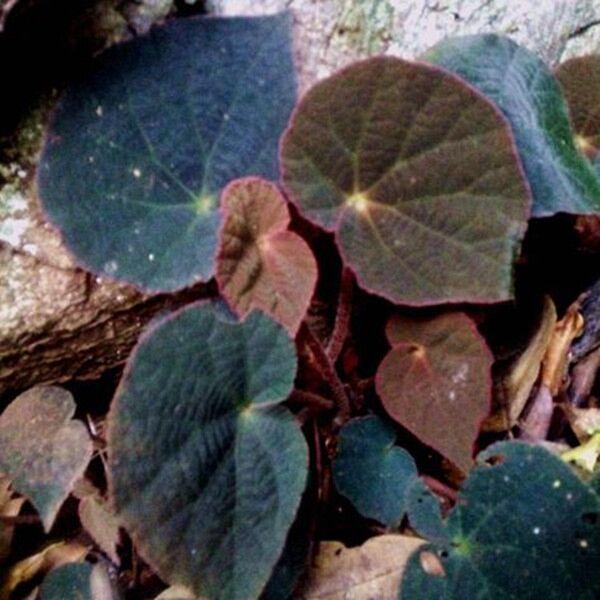 Begonia sp ( Peacock begonia )
