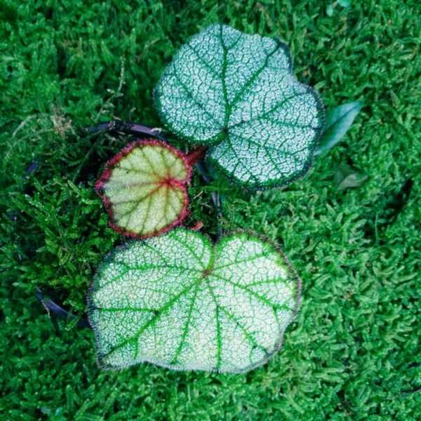 Begonia sp ( Red )