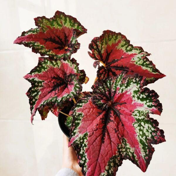 Begonia T Rex™ 'St Nick' (Begonia rex hybrid)
