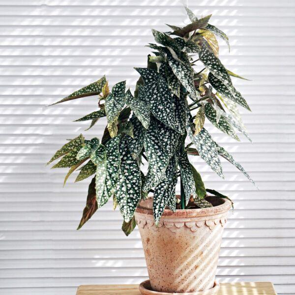 Begonia 'White Ice'