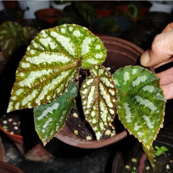 Begonia xanthina ' dark shadows '