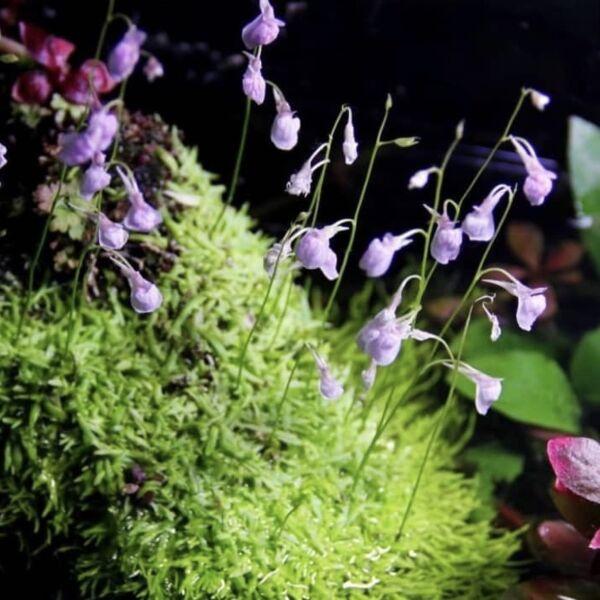 Bladderworts ( Utricularia graminifolia )