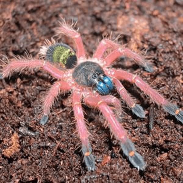 Blue Fang Skeleton Tarantula (Ephebopus cyanognathus)