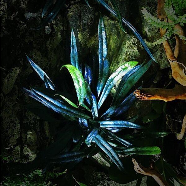 Blue Oil Fern ( Microsorum thailandicum )