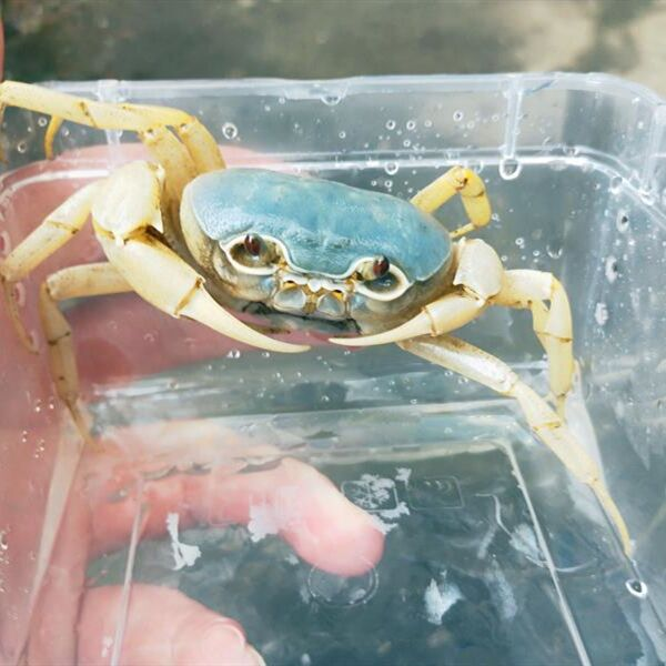 Blue Pirate Crab (Vietorintalia rubrum)