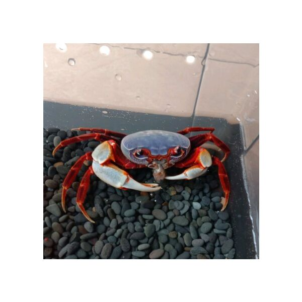 Warrior Crab Shenzhen (Nanhaipotamon aculatum)