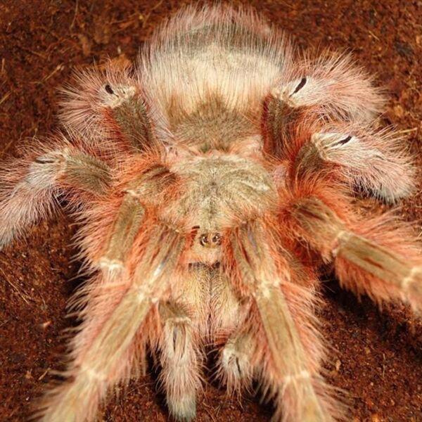 Brazilian Giant Blonde Tarantula (Nhandu tripeppii)