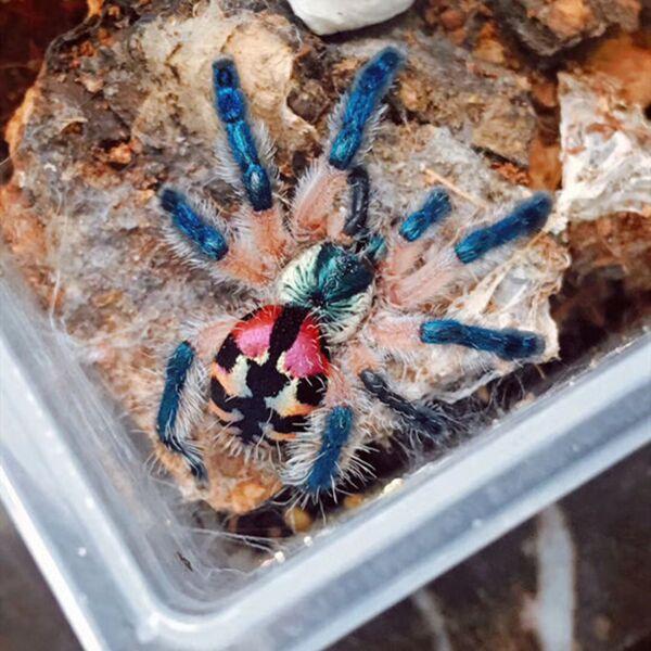 Brazilian Jewel Tarantula (Typhochlaena seladonia)