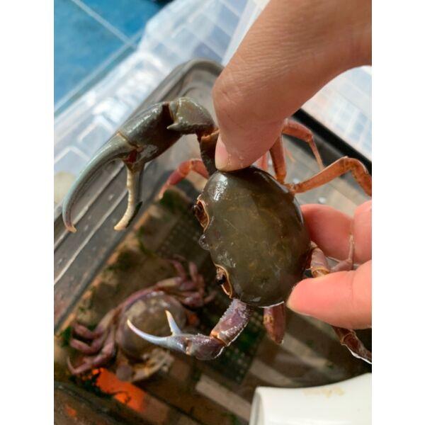 Brown Pirate Crab (Hainanpotamon daiae)