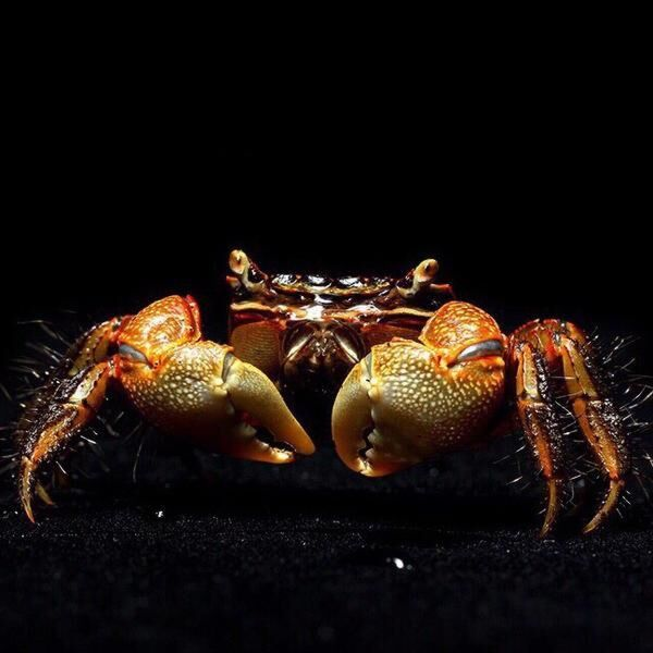 Brown Sesarmid Crab (Chiromantes dehaani)