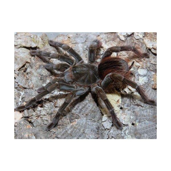 Brown Velvet Birdeater Tarantula (Megaphobema velvetosoma)