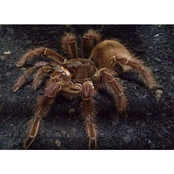 Burgundy Goliath Bird Eater Tarantula  (Theraphosa stirmi)