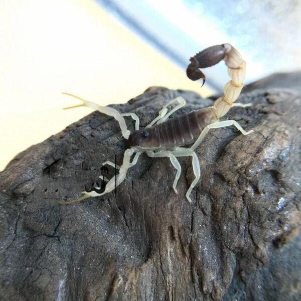Burrowing Thick Tail Scorpion (Parabuthus raudus)