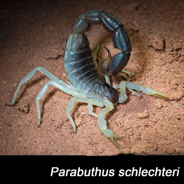 Burrowing Thick Tail Scorpion (Parabuthus schlechteri)