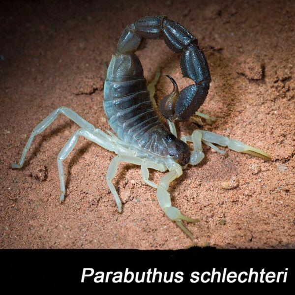 Burrowing Thick Tail Scorpion (Parabuthus schlechteri)