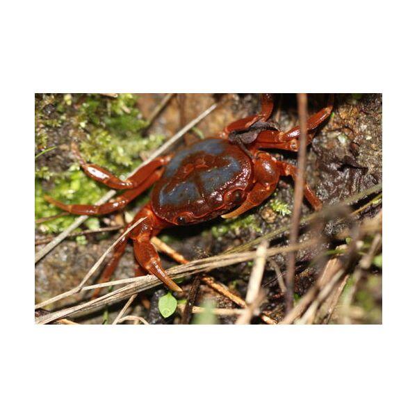 Butterfly Crab (Neilupotamon papileonaceum)