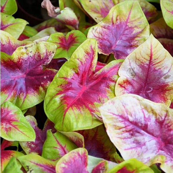 Caladium ' Red Belly ' ( Caladium bicolor )