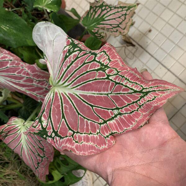 Caladium ' Pink Symphony ' ( Caladium bicolor )