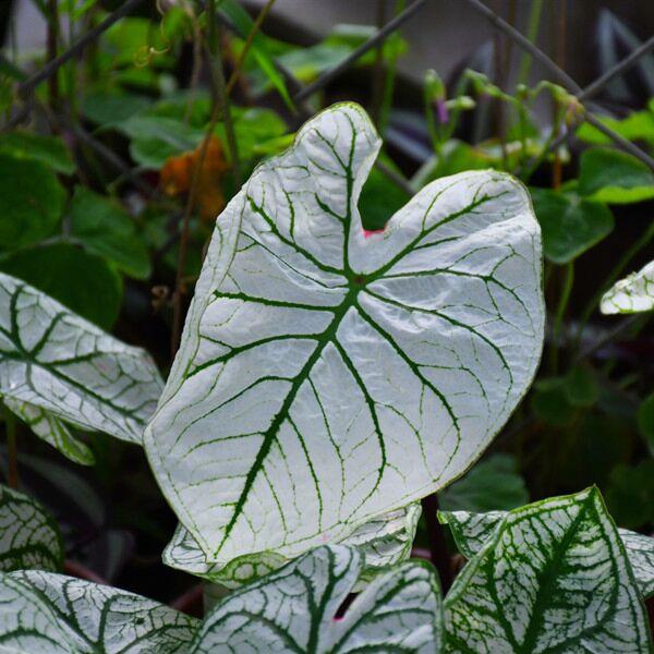 Caladium 'White Frost' (Caladium bicolor)