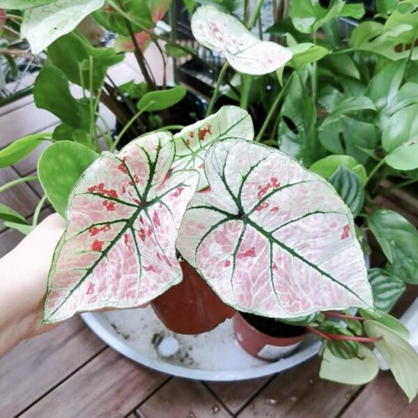 Caladium ' Strawberry Star ' ( Caladium bicolor )