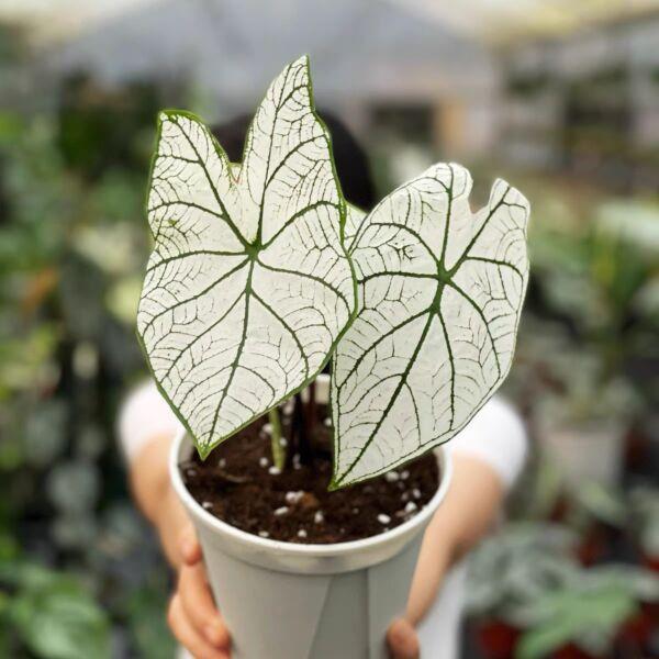 Caladium ' White Frost ' ( Caladium bicolor )