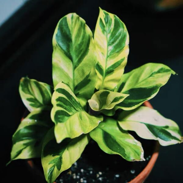 Calathea louisae ' Thai Beauty '
