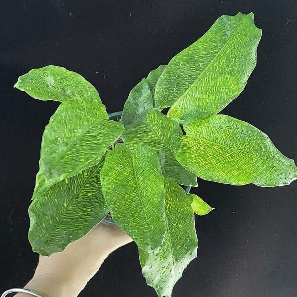 Calathea musaica ' Network '