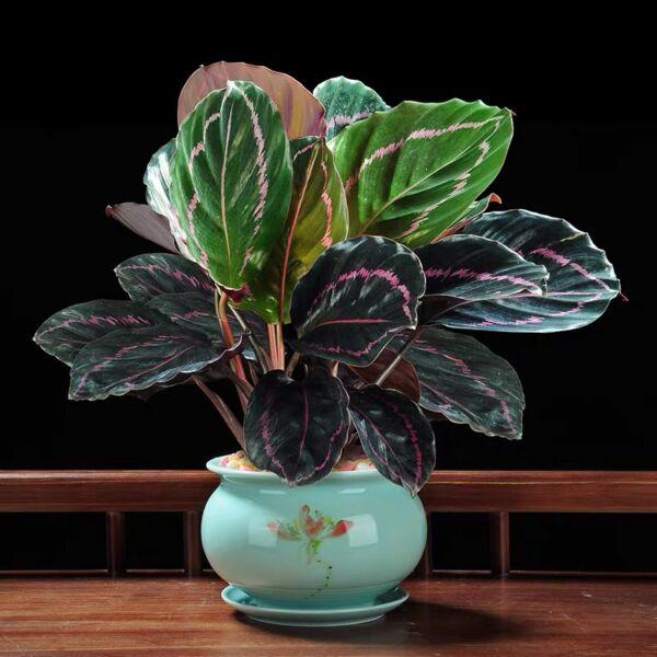 Calathea roseopicta ' Dottie in pot