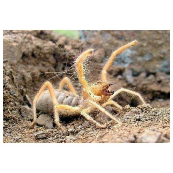 Camel Spider (Solifugae sp.)