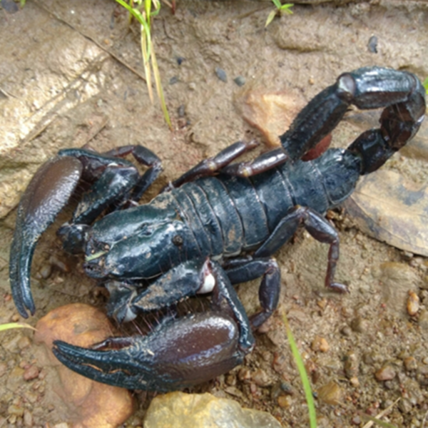 Cave Clawed Scorpion (Pandinus viatoris)