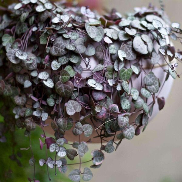 Chain of Hearts ( Ceropegia woodii )