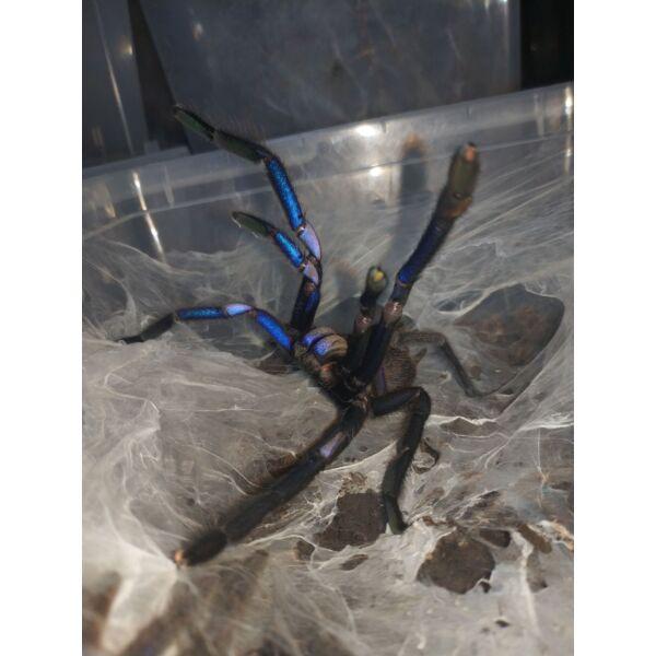 Chilobrachys sp. Electric Blue