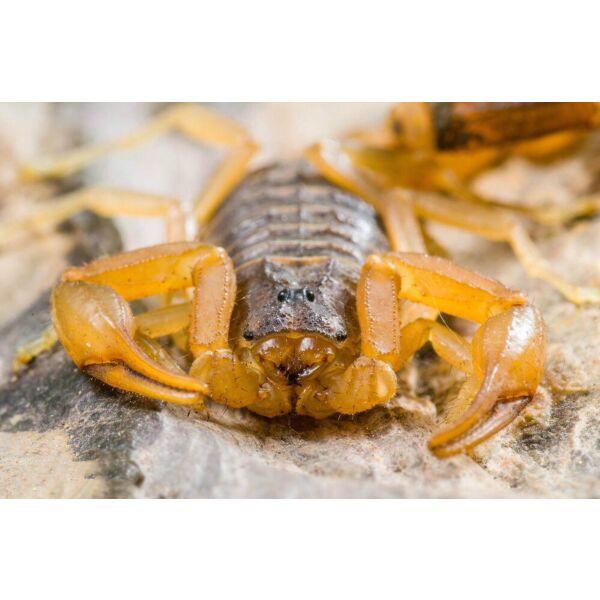 Chinese Golden Scorpion (Mesobuthus martensii ) × 4 + 1 free