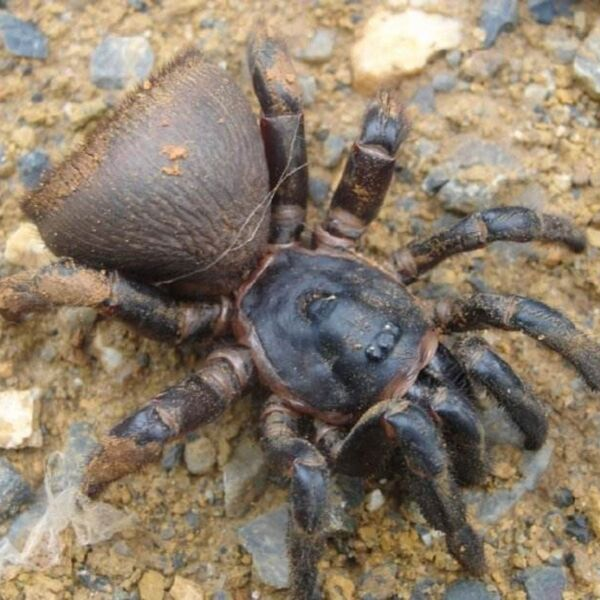 Chinese Hourglass Spider (Cyclocosmia ricketti)