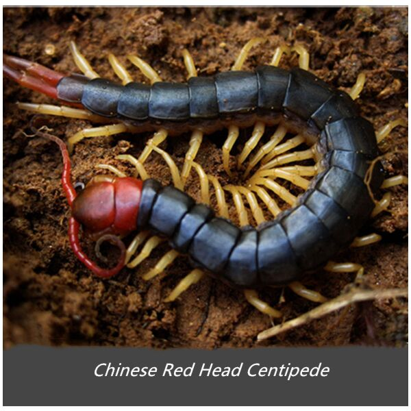Chinese Red Head Centipede (Scolopendra mutilans)