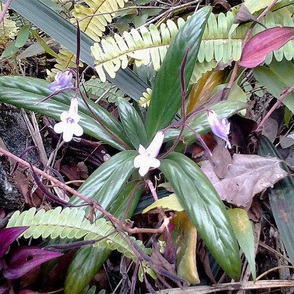 Chirita hedyotidea