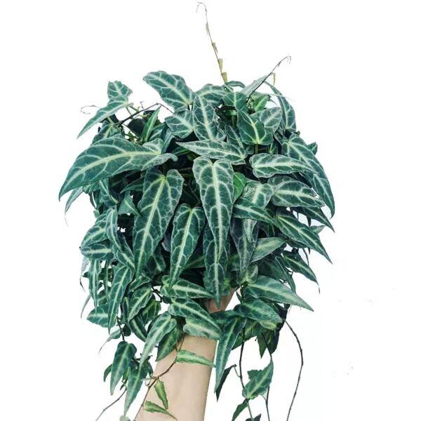 Cissus amazonica