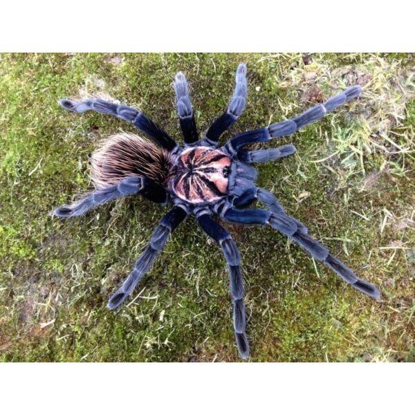 Xenesthis sp Blue Tarantula
