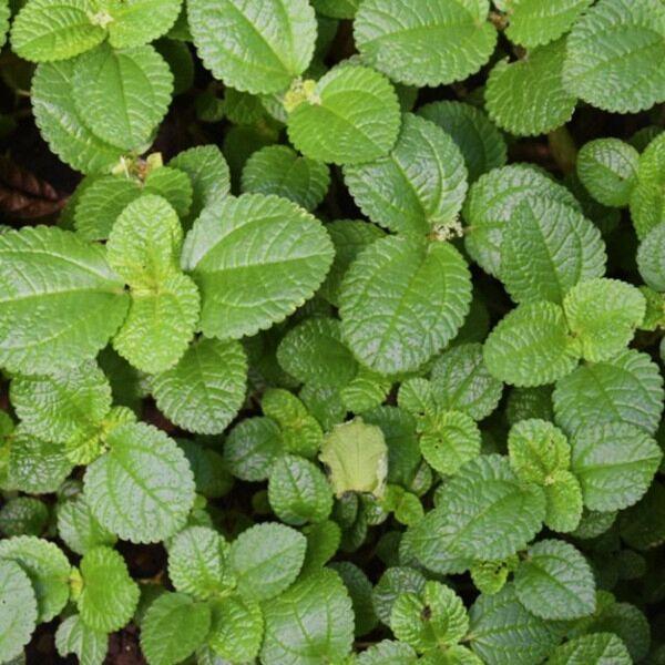 Creeping Charlie (Pilea nummulariifollia) | Terrarium Plant