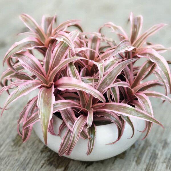 Cryptanthus bivittatus  'Pink Starlite'