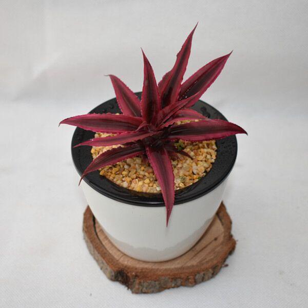 Bromeliad ( Cryptanthus bivittatus ' Red Ribbons ' )