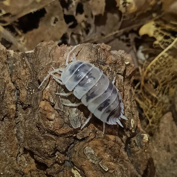 Dairy Cow Isopods (Porcellio laevis)