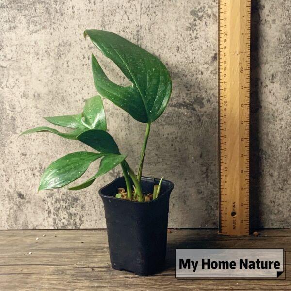 Dragon Tail Plant(Epipremnum pinnatum)