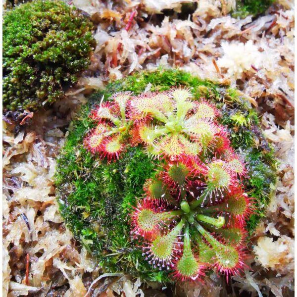 Drosera lovellae